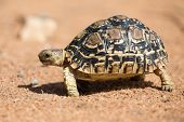 pic of tortoise  - Leopard tortoise walking slowly on sand with his protective shell - JPG