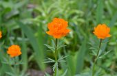 stock photo of may-flower  - Trollius. May flowering garden flowers. Globe flower or Trollius. ** Note: Shallow depth of field - JPG