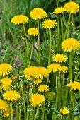 pic of dandelion  - Dandelions in the meadow. Bright flowers dandelions on background of green meadows. ** Note: Shallow depth of field - JPG