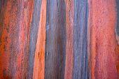 pic of eucalyptus trees  - Colorful pattern of rainbow eucalyptus tree bark as a background - JPG
