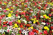 stock photo of primrose  - Pretty flowerbed with Spring flowers including Bellis Primroses and Tulips Shrewsbury Shropshire England UK Western Europe - JPG