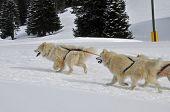 Racing Samoyeds