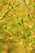 picture of alder-tree  - branch of young leaves of alder blossoming out in the spring