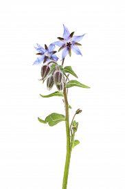 image of borage  - Borage or starflower Borago officinalis flowers and foliage isolated against white - JPG