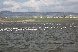stock photo of larnaca  - Flamingos in Larnaca Salt Lake - Cyprus Island ** Note: Soft Focus at 100%, best at smaller sizes - JPG