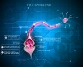 Synapse Detailed Anatomy poster