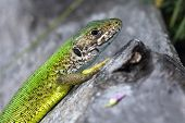 a male of green lizard