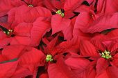 Close Up Of Poinsettia