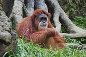 Orangutan (Pongo Pygmaeus), Borneo, Indonesia