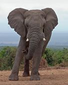 African Elephant Bull Leaning To One Side
