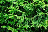 Fondo de ramas de árbol verde abeto Espinosa