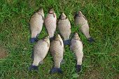 The seven crucian carp (Carassius carassius) lying on the grass