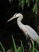 Heron Among Reeds