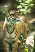 Closeup of a Siberian tiger also know as Amur tiger (Panthera tigris altaica), the largest living ca poster
