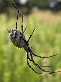 Argiope lobata spider side view