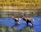 Elks In Water