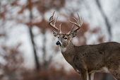 White-tailed Deer Buck In The Woods Near Jefferson Barracks National Cemetery, St. Louis poster