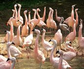 Pink Flamingo Crowd