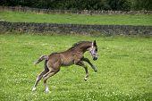 Prancing Foal