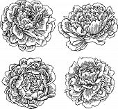Vector Hand Drawn Peonies Silhouette Set. Isolated Flowers Contour. poster