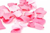 Pink rose petals on white