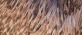 Background of Emu feathers