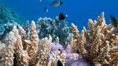 Staghorn coral, Acropora pulchra, with tropical fish underwater in the Red sea. poster