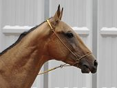 Portrait Rare Gold Akhal-Teke Horses From Turkmenistan