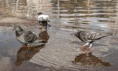 Urban Pigeons Peck Bread Crumbs From Puddle, In Which Its Reflection And The Reflection Of Clouds Ar poster