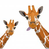 Two Cute Giraffes On A White Background. Wildlife, Zoology, Safari. Flat Design. Vector Illustration poster