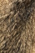 Wolfskin As Background And Texture. Trophy Wolf Skin. Wild Animal Fur. Texture Of Wolf Fur. poster