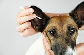 Human Hand Cleans A Dog's Ear With A Cotton Ear Stick, Close Up View. The Concept Of Caring For Dog poster