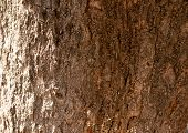 The Texture Of The Tree Bark. The Bark Is Brown. poster