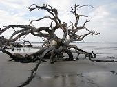 stock photo of jekyll  - Driftwood Beach on the historic Jekyll Island - JPG