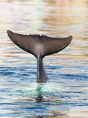 stock photo of cetacea  - Tail of a diving Common bottlenose dolphin sticking out of the water - JPG