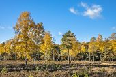 Yellow Colored Deciduous Birch (betula) Trees On Heathland In Autumn Season Of November, Drenthe, Ne poster