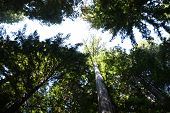 Giant Coastal Redwoods Seen Along The Avenue Of The Giants In Northern California poster