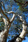Eucalyptus Tree, Low Angle View, Australia