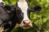 Curious Dairy Cow - Portrait Of A White And Black Heifer Looking At Camera. Italian Alps, Europe poster