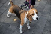 Beagle Is A Breed Of Hunting Dogs Bred In The Uk. poster