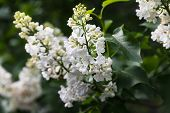 Blossoming Branch Of A White Lilac poster