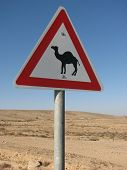 Attention camels !