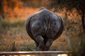 Rhino Rear End