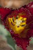 Closeup of striking tulip - shallow