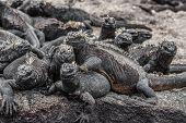 Animals. Galapagos Marine Iguana - Iguanas warming in the sun on volcanic rocks on Fernandina Island poster