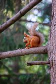 Cute Orange Furry Squirrel Eating In The Park During Autumn Fall Season poster