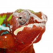Camaleão Furcifer Pardalis - Ambilobe (18 meses)