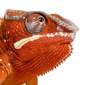 Camaleão Furcifer Pardalis - Sambava (2 anos)