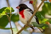 Rose-breasted Grossbeak (pheucticus Ludovicianus)