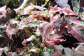 foto of crotons  - One of different varieties croton bush leaves - JPG